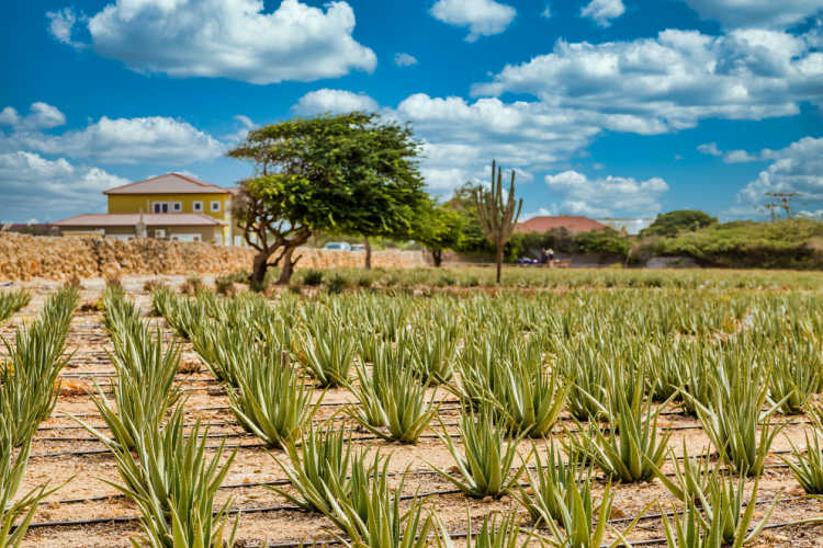 Aloe vera tour Aruba family vacation