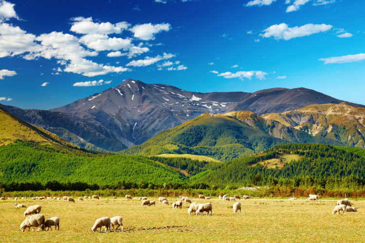 New Zealand mountains and sheep