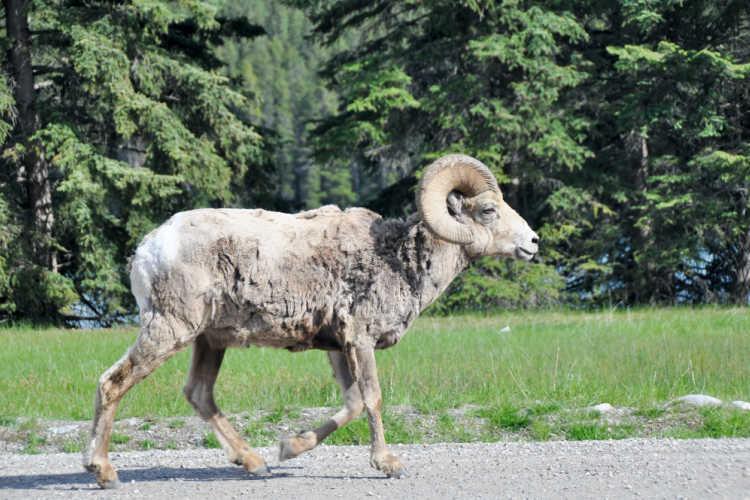Bighorn sheep Banff National Park