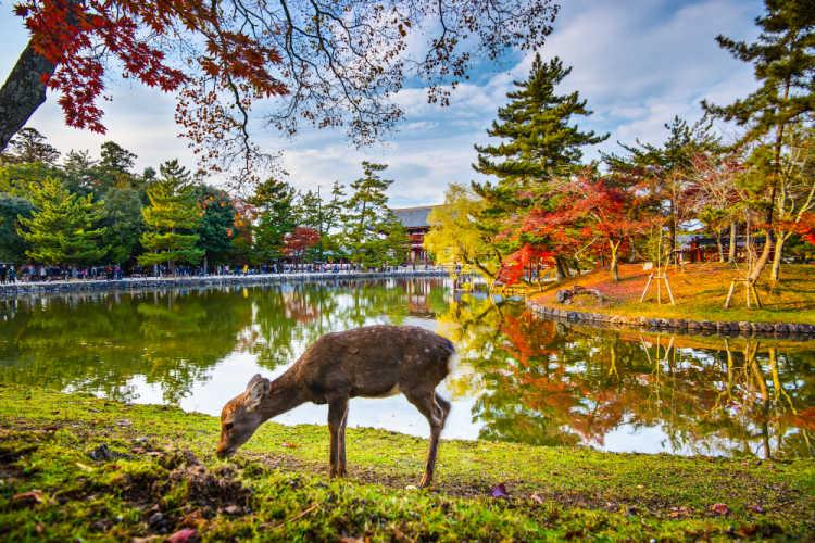 Nara deer Japan